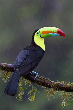 Keel-billed Toucan - Costa Rica by © Jim Cumming