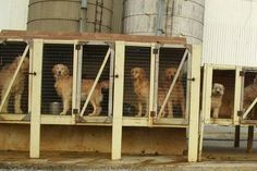 """FYI: When and Why Did Puppy Mills Begin? Puppy mills became more prevalent after World War II. In response to widespread crop failures in the Midwest, the United States Department of Agriculture began promoting purebred puppies as a fool-proof """"cash"""" crop. Chicken coops and rabbit hutches were re-purposed for dogs, and the retail pet industry; pet stores large and small boomed with the increasing supply of puppies from the new """"mills."""""""