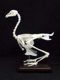 thirteenlined ground squirrel skeleton 2 skulls and