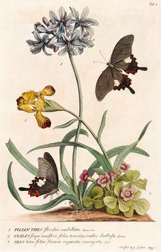 Georg Dionysius Ehret -- 1. Polyanthes, 2. Oxalis, 3. Iris -- Iris -- View By Flower -- RHS Prints
