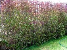 Dodonea Viscosa Purple - ( Australia) Full sun, hardy, Hight 3m