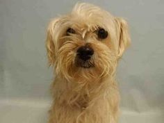 REMY MORALES – A1081243 FEMALE, WHITE, MALTESE / SHIH TZU, 5 yrs OWNER SUR – EVALUATE, NO HOLD Reason MOVE2PRIVA Intake condition EXAM REQ Intake Date 07/14/2016, From NY 10465, DueOut Date 07/14/2016,