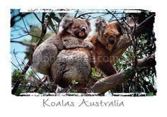 Australian Koalas PC167