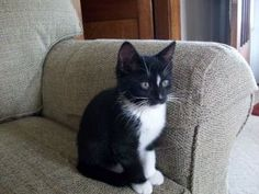 Cheech and Chong is an adoptable Domestic Short Hair-Black And White Cat in Emporia, KS. If interested in adopting a pet you will need to fill out a request to adopt. This needs to be on file overnigh...