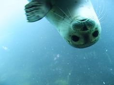 Harp Seal Underwater- Image to Paint