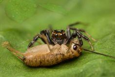 Salticidae - Telamonia festiva (male) feeding on a cricket