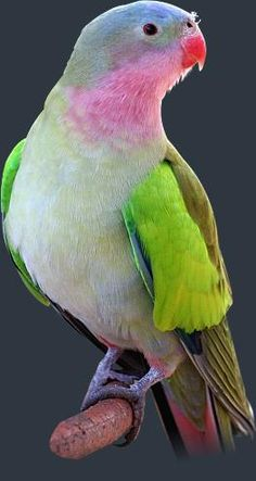 Princess parrot Australia