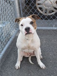 ●5•15•16 STILL THERE!●SUPER URGENT 5•14•16●RETURNED!!! SAFE 4/25/16 SUPER URGENT Brooklyn Center JESSIE – A1070322 ***RETURNED 05/14/16*** SPAYED FEMALE, WHITE / BR BRINDLE, PIT BULL MIX, 1 yr, 1 mo RETURN – ONHOLDHERE, HOLD FOR ID Reason LLORDPRIVA Intake condition UNSPECIFIE Intake Date 05/14/2016, From NY 11226, DueOut Date 05/14/2016,