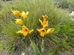 Orquídea chilena