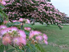 Fragrant mimosa trees...we had one in our backyard as a kid...I loved it....