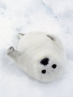 Harp Seal, Pup in Favorite Position on Its Back on Ice Pack, Nova Scotia, Canada    by Daniel Cox