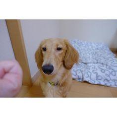 手の中のウマウマさん、欲しいなぁ…。 #わんこ #ミニチュアダックスフンド #ミニチュアダックスフンド #胴長短足犬倶楽部