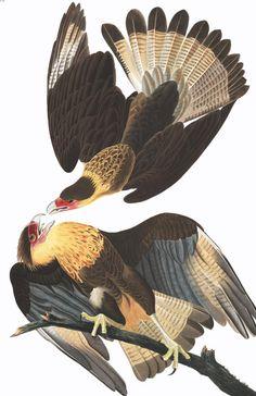 Brasilian Caracara Eagle | John James Audubon's Birds of America