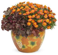 Proven Winners | Autumn Majesty  Heuchera and Strawflower (Sundaze Blaze)