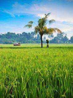 Padi Field at Ubud - Bali - Indonesia
