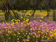 WAN-0027469 © WestPix Wildflowers in full bloom at Coalseam Conservation Park…