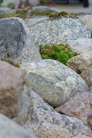 Kuvahaun tulos haulle kivikkokasvi