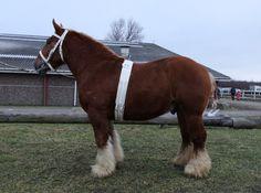 Jutland stallion Mosegaardens Messi