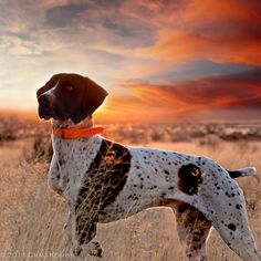 Craig Koshyk Photography | Pointing Dogs Volume One: The Continentals