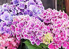 Hoida jalohortensiaa huolella, niin saat nauttia sen upeasta kukkinnasta koko kesän. Lue vinkit Viherpihasta ja kokeile!