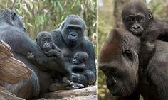 Two adorable baby gorillas make their debut at Bronx Zoo
