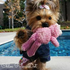 Today is a great day to play - you wanna? Chloe Polka-Dot does! www.YorkieShampoo.com
