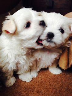 My maltese puppy at 6 weeks