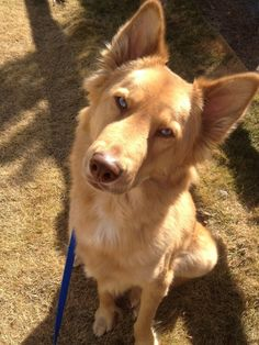 Siberian Husky/ Shepherd/ Golden Retriever mix Dogs just out walking Baloo, my husky, shepherd, retriever mix Cute Dogs Breeds, Cute Dogs And Puppies, Baby Dogs, I Love Dogs, Dog Breeds, Doggies, Mix Breed Dogs, Pet Dogs, Funny Animal Pictures