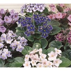 13 OZ AFRICAN VIOLET $3.50 at Lowes, air purifier, house plant