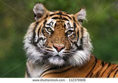 Free photo: Tiger, Cub, Tiger Cub, Big Cat - Free Image on Pixabay - 165189