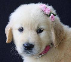Golden Retriever puppy with a pink bow in her hair.
