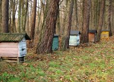 Honeybees at the edge of the Bialowieza Forest in Poland