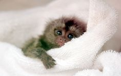 Cute Baby Animals Funny Just Watch These Cute Baby Animals So Cute Baby, Cute Baby Monkey, Pet Monkey, Cute Babies, Marmoset Monkey, Pygmy Marmoset, Baby Animals Pictures, Cute Animal Pictures, Animals Images