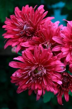 738 best chrysanthemums images on pinterest chrysanthemums 24 pictures of pretty flowers to boost your mood mightylinksfo