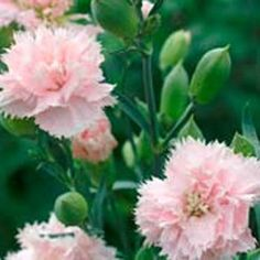 "'Chabaud La France' Carnation (Dianthus Caryophyllus): fragrant double, fringed flowers; clump-forming blue-green foliage; for cutting; perennial in frost free zones, an annual where winters are cold; Grows 24"" tall; from seed"