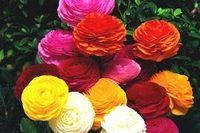 How to Grow Ranunculus in Texas | eHow