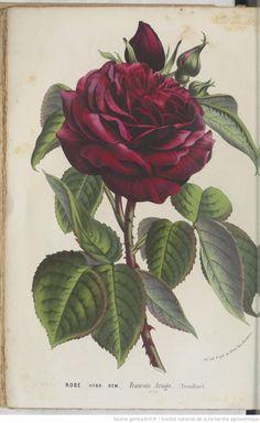 gallica.bnf.fr ✿ flore des serres et des jardins de l´europe public romain (la rose) illustration floral botanic fleur flower