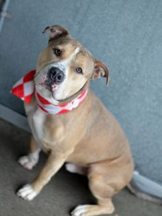 SAFE 12/28/14!  Was TO BE DESTROYED - 12/28/14 Brooklyn Center -P.My name is POLO. My Animal ID # is A1022319. I am a neutered male brown and white staffordshire mix. The shelter thinks I am about 2 YEARS. For more information on adopting from the NYC AC&C, or to  find a rescue to assist, please read the following: http://urgentpetsondeathrow.org/must-read/