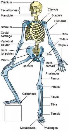 Bones of the Axial Skeleton biologie Human Body Anatomy, Human Anatomy And Physiology, Human Skeleton Anatomy, Axial Skeleton, Skeleton Bones, Facial Bones, Nursing School Notes, Medical School, Nursing Schools