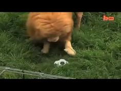 This Lion Was Bored, So They Threw Him A Ball. But They Never Expected Him To Do This!