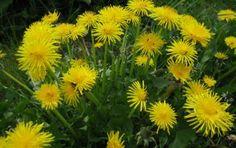 Dandelion ( paardenbloem) Geneeskrachtige Planten