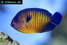 Coral Beauty, dwarf angelfish