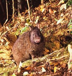 Amami rabbit (Pentalagus furnessi)   ENDANGERED   This ancient species is regarded as a 'living fossil'. and has been declared a Japanese National Monument.