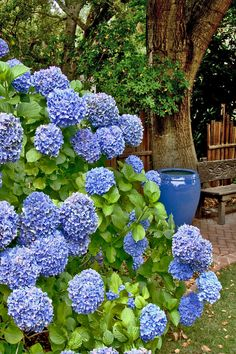 Blue Hydrangias WILL be in the finished backyard.