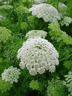 Ammi visnaga 'Casablanca' Seeds £2.30 from Chiltern Seeds - Chiltern Seeds Secure Online Seed Catalogue and Shop