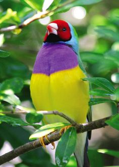 Gouldian Finch; art of God