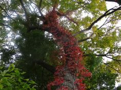 Tree Bend Red.