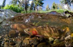 Yellowstone Cutthroat Trout   Montana Matt