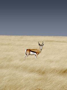 Springbok. South-Africa's national buck