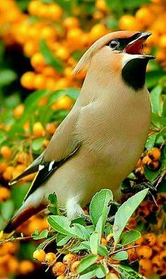 Cedar Waxwing Eating Yellow-Orange Pyracantha Berries - Tan Bird